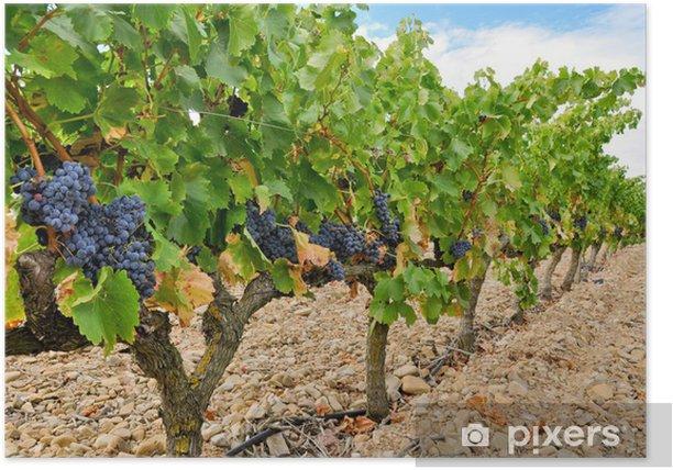 Grapes in a vineyard, La Rioja (Spain) Poster - Themes