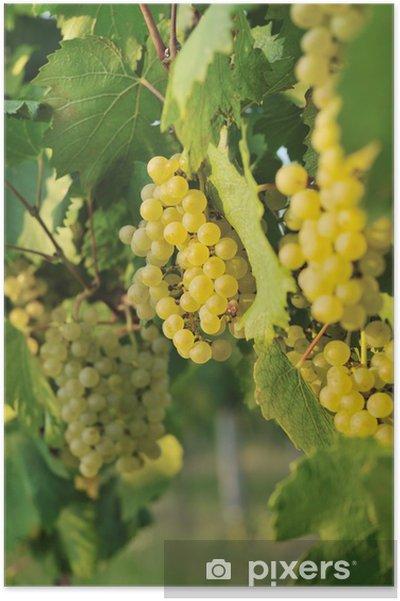 Poster Grappe de raisin blanc - Plantes