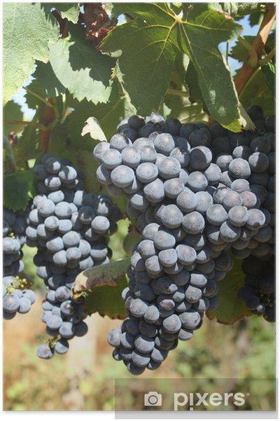Poster Grappoli d'uva nera, Toscana - Fruits