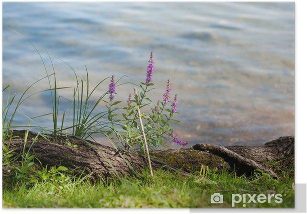 Poster Gras en paarse bloemen op de oever van een meer - Bloemen