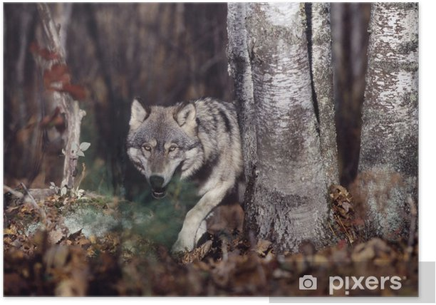Gray wolf in forest Poster - Wolves