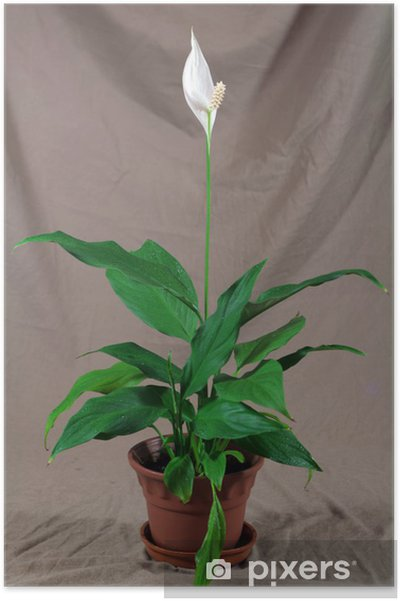 Green House Plant With White Flower In Pot Poster Pixers We