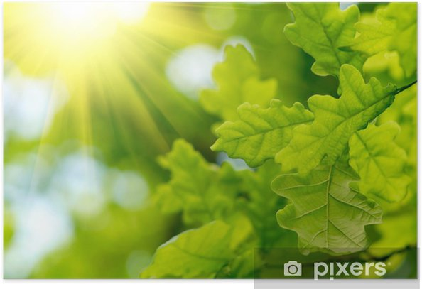 Green oak leaves with sun ray Poster - Wonders of Nature