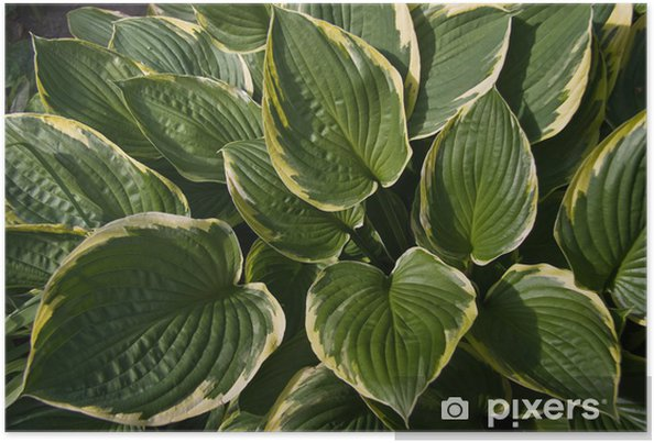 Green With Yellow Leaves Of Hosta Or Funkia Poster Pixers We