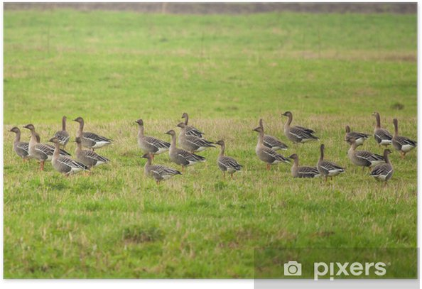Greylag Gooses on the meadow Poster - Birds