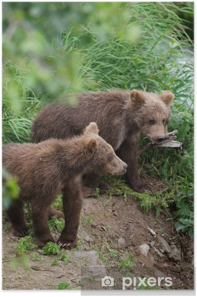 Poster Grizzly bear cubs - Thèmes