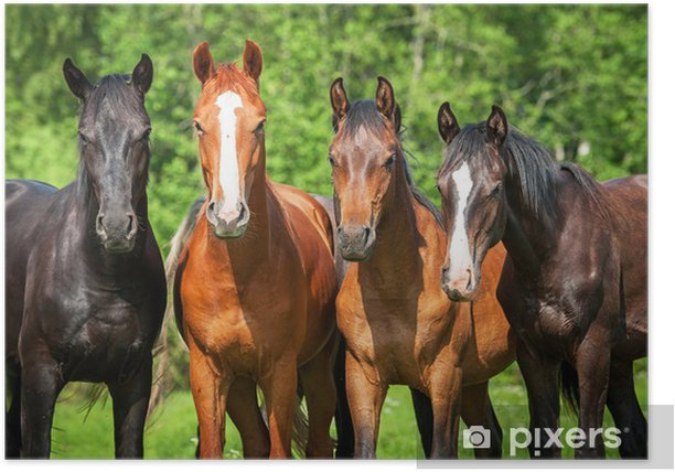 Group of young horses on the pasture Poster - Themes