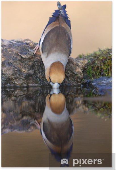 Poster Hawfinch reflétant dans l'eau potable - Oiseaux