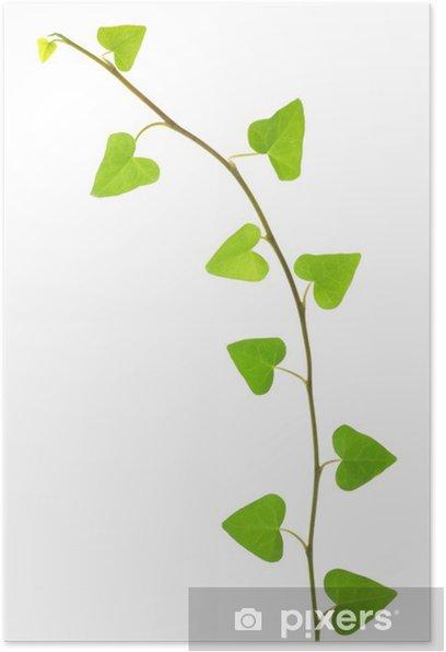 Poster Hedera helix 'Sark' - Merveilles naturelles