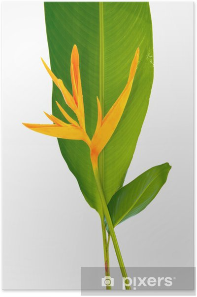 Poster Heliconia - Fleurs