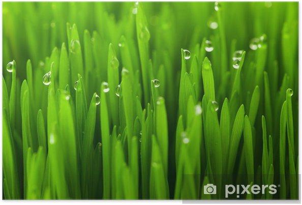 Póster Hierba de trigo verde fresca con gotas de rocío / de fondo macro - Temas