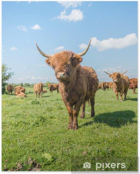 Poster Highland cattle dans un paysage ensoleillé - Saisons