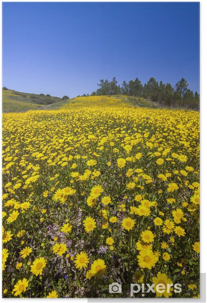 hill of yellow marigold flowers Poster - Countryside