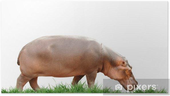 Poster Hippopotame isolé - Vie