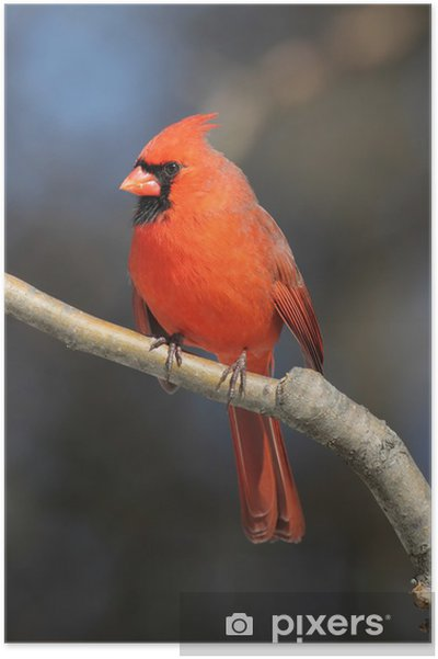 Poster Homme Cardinal On A Branch - Oiseaux