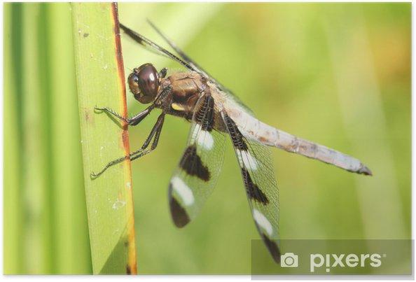 Poster Homme Douze repéré Skimmer (Libellula pulchella) - Autres Autres