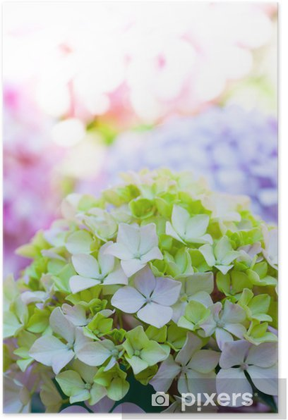 Hortensia multicolores - hydrangea Nortensis Poster - Flowers