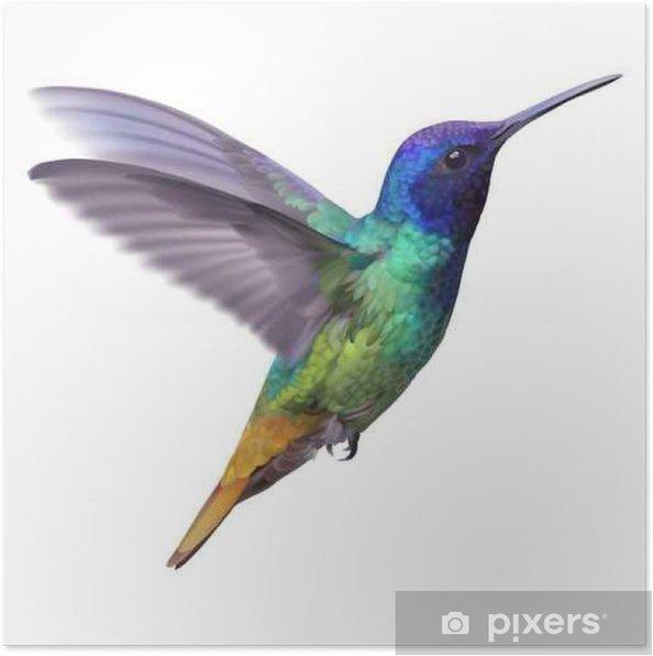 Póster Hummingbird - Golden zafiro cola .__ dibujado a mano ...