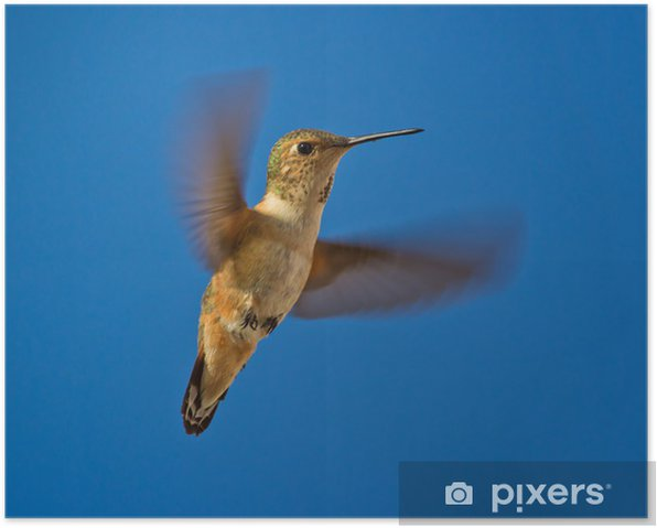 Poster Hummingbird i flyg - Årstider