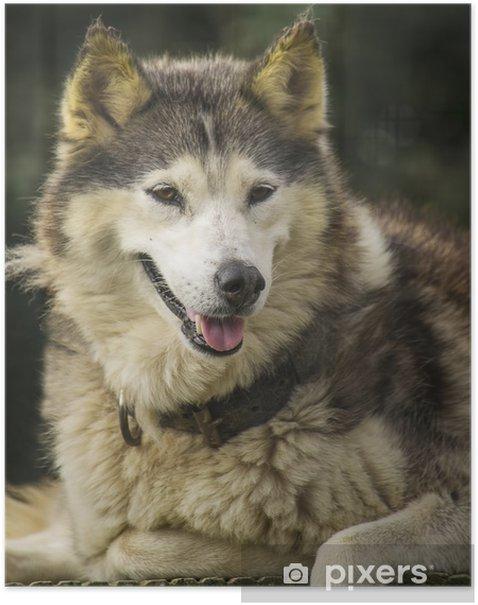 Poster Husky chien - Mammifères