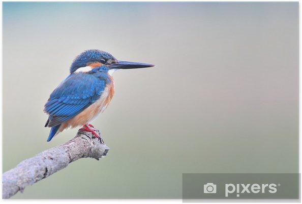 Poster Ijsvogel - Vogels
