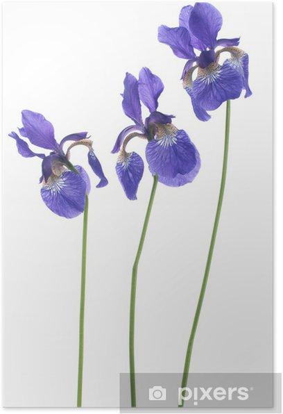 iris Poster - Flowers