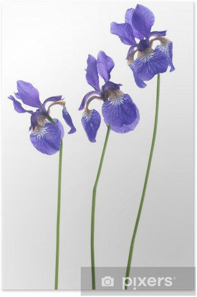 Póster Iris - Flores