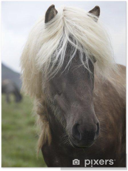 Póster Islandia. Península Vatnsnes. caballos islandeses que pastan en el gro - Mamíferos