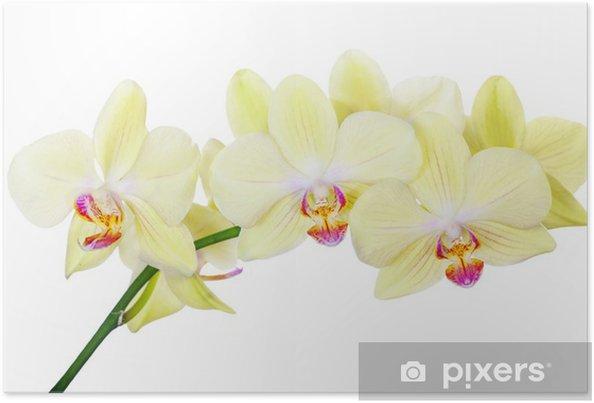 Poster Isolé branche d'orchidée avec fleurs jaune citron - Fleurs