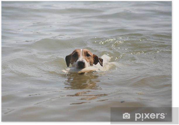 Póster Jack russell terrier - Mamíferos