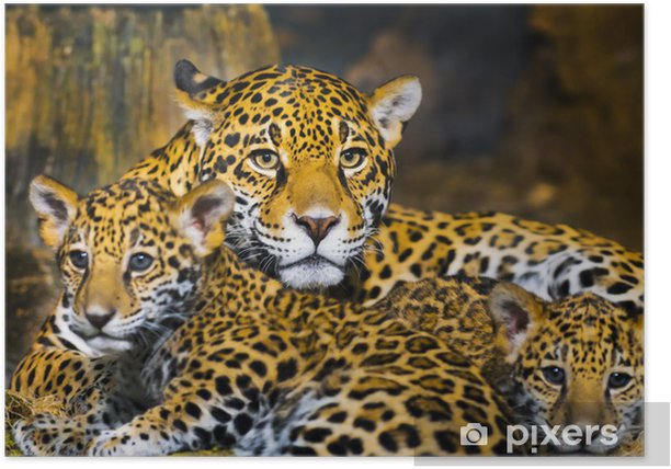 Jaguar Cubs Poster - Themes