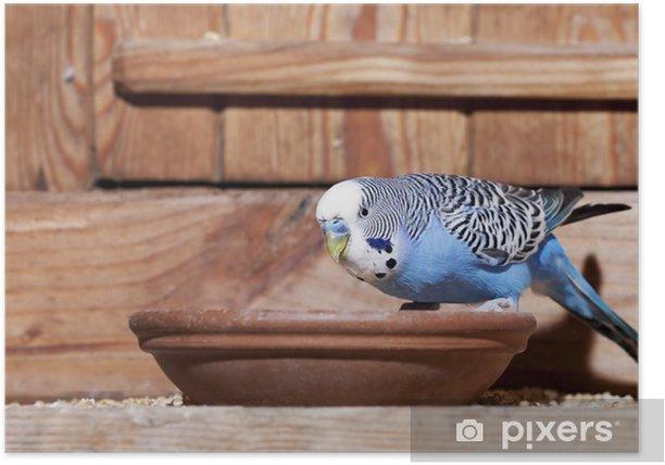 Poster Jeune perruche bleue - Mammifères
