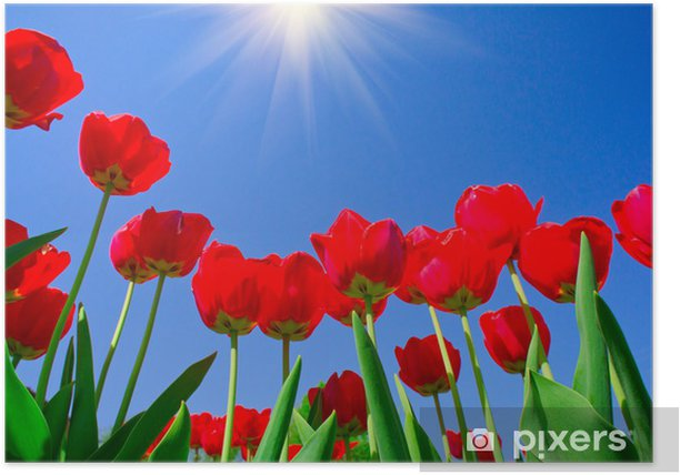 Poster Jolies tulipes de printemps. - Saisons