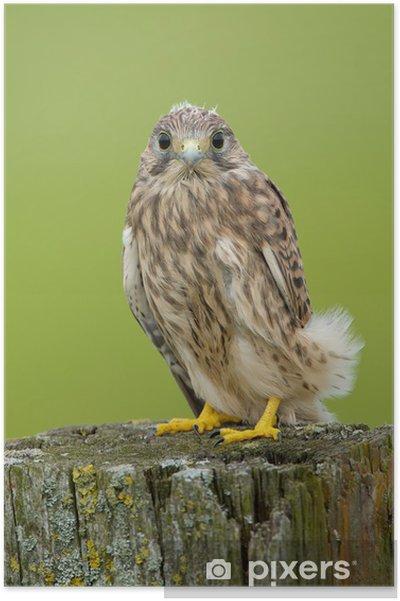 Poster Juvenile Faucon crécerelle - Oiseaux