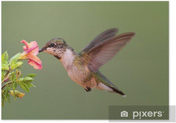 Juvenile Ruby-throated Hummingbird (archilochus colubris) Poster - Birds