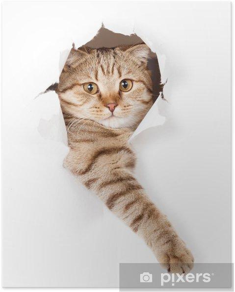 Poster Kat in het wit behang gat -