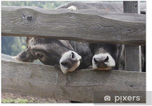 kühe Poster - Mammals