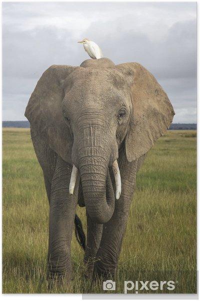 Poster L'éléphant d'Afrique avec héron garde-bœufs - Thèmes