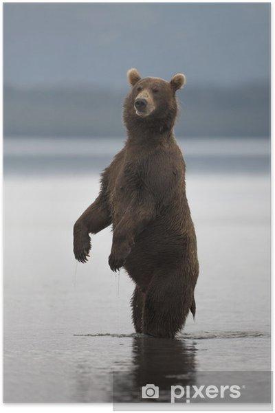 Poster L'ours brun se leva sur ses pattes arrière - Mammifères