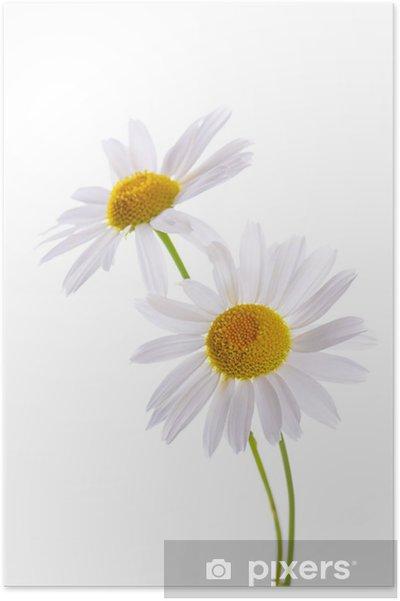 Poster La belle Daisy isolé sur blanc - Fleurs