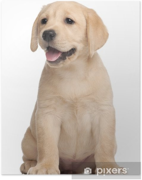 Labrador puppy, 7 weeks old, in front of white background Poster - Wall decals