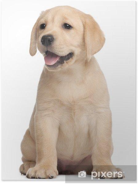 Poster Labrador puppy, 7 weken oud, voor witte achtergrond - Muursticker