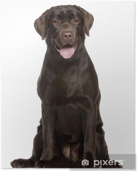Poster Labrador retriever, 7 months old, sitting - Mammifères