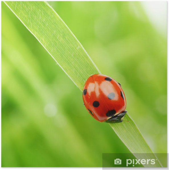 ladybug on grass Poster - Other Other