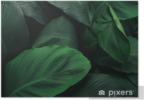 Large Foliage Of Tropical Leaf With Dark Green Texture Abstract Nature Background Poster