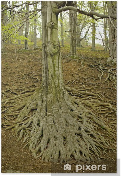 Large tree roots II Poster - Trees