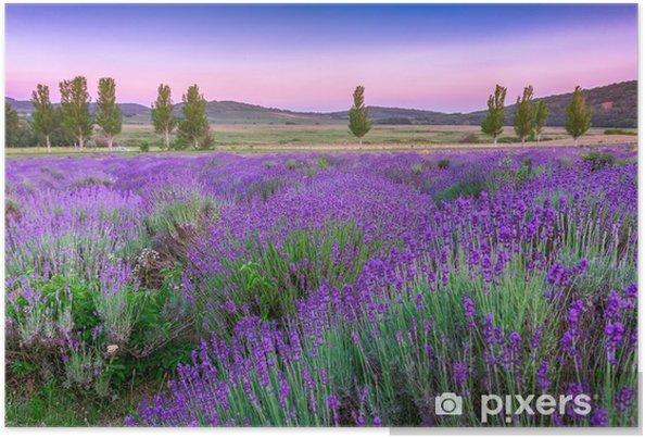 Poster Lavendelveld in de zomer bij zonsondergang - Kruiden