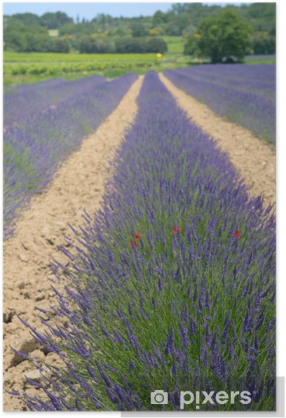 Lavender fields in France Poster - Countryside