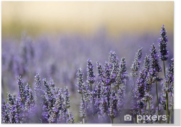 Lavender flower field. Close up. France. Poster - Herbs