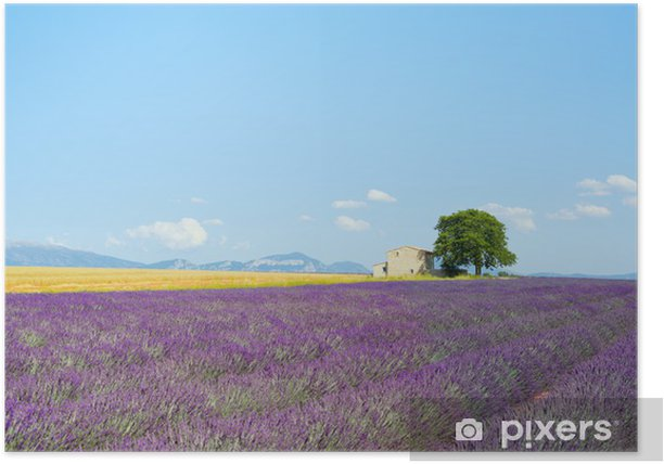 Lavender Flowers Blooming Field House And A Tree Provence Fra Poster Pixers We Live To Change